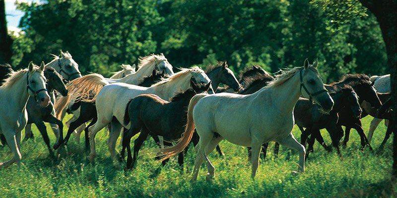lipica-horses